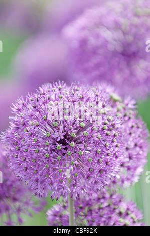 Allium Hollandicum 'Purple sensation', Allium, Purple flower subject. - Stock Photo