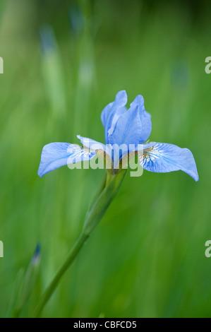 Iris sibirica 'Canonbury Belle', Iris, Blue flower, Green background. - Stock Photo