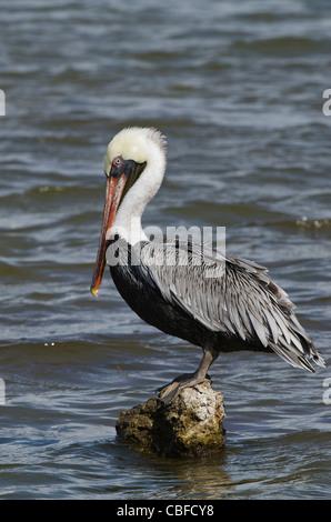 Brown Pelican (Pelecanus occidentalis), Bonaire, Netherlands Antilles, Caribbean - Stock Photo