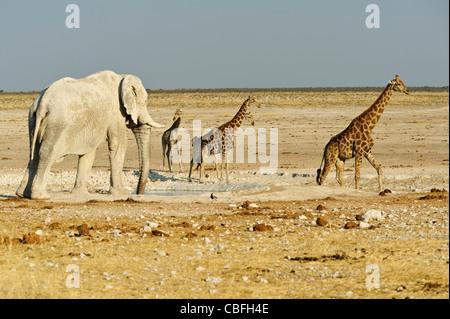 Elephant and giraffes at  'Elephant Bath' water hole. Etosha National Park, Namibia. - Stock Photo