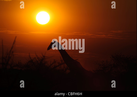 Silhouette of giraffe at sunset.  Etosha National Park, Namibia. - Stock Photo