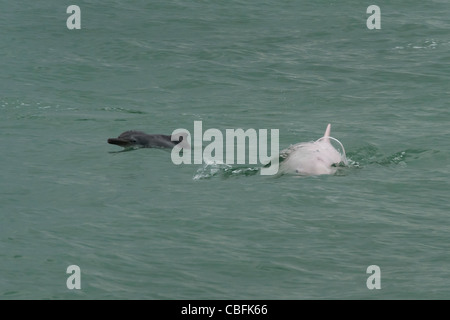 Indo-Pacific Humpback Dolphin (Sousa chinensis), adult female & calf surfacing. Hong Kong, Pearl River Delta. - Stock Photo