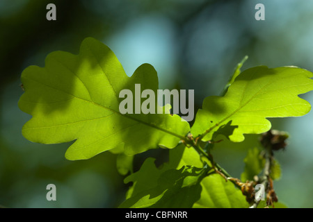Oak leaves (Quercus robur). Spring. May. Norfolk. - Stock Photo