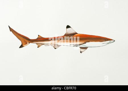 Blacktip reef shark Carcharhinus melanopterus Carcharhinidae - Stock Photo