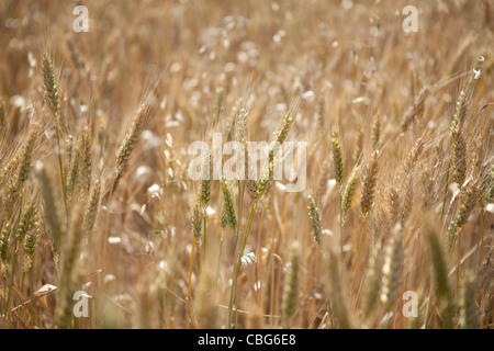 Close up of wheat growing in the Australian wheat belt. - Stock Photo