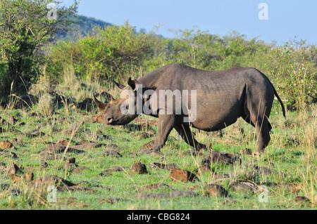 Female Black Rhino, Masai Mara - Stock Photo