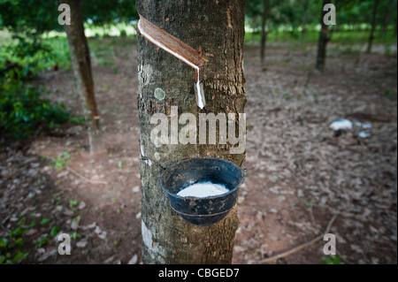 Natural rubber (latex) drip into a cup from a rubber tree in Thailand. - Stock Photo