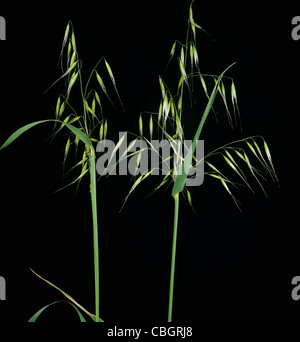Wild oats (Avenua fatua) panicles against a studio black background - Stock Photo