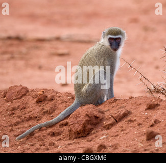 Vervet monkey Chlorocebus pygerythrus sitting on bare earth in Tsavo National Park Kenya - Stock Photo
