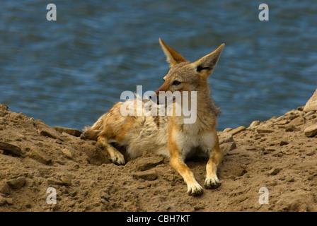 Black Backed Jackel resting on sand dune while scavenging fish. - Stock Photo