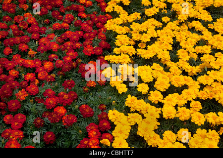 Red and Yellow French Marigolds, England, UK - Stock Photo