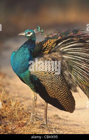 Indian Peafowl (Pavo cristata) - Stock Photo