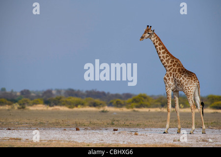 A giraffe (Giraffa camelopardalis) captured on one of the salt pans in Nxai Pan National Park, Botswana - Stock Photo
