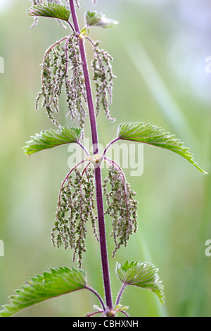Stinging nettle (Urtica dioica)  flowers close up, England, UK - Stock Photo