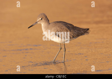A Willet (Catoptrophorus semipalmatus) forages for food in the surf colored by the setting sun. - Stock Photo