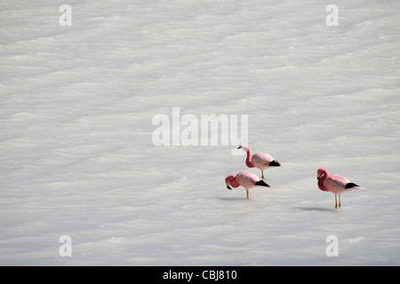 Andean flamingos (Phoenicoparrus andinus) in the Laguna Blanca on the Altiplano, Bolivia - Stock Photo