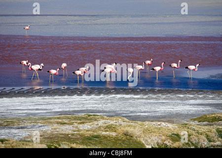 Andean flamingos (Phoenicoparrus andinus) foraging in the salt lake Laguna Colorada on the Altiplano, Bolivia - Stock Photo