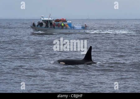 Transient Killer Whale/Orca (Orcinus orca). Large male surfacing in front of Whale Watching boat. Monterey, California. - Stock Photo