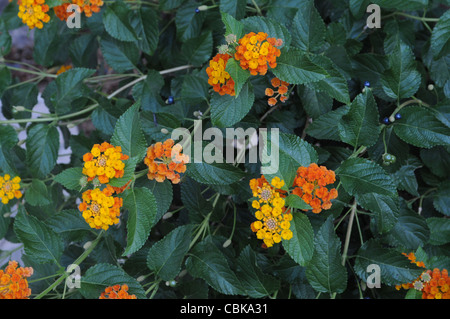 A colourful border detail of Lantana camara - Stock Photo
