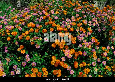 A colourful border detail of Lantana camara - Stock Photo