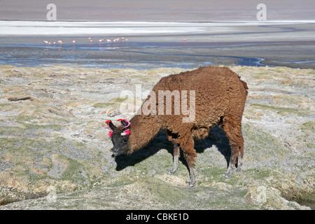Llama (Lama glama) with ear tassels on shoreline of salt lake Laguna Colorada on the Altiplano, Bolivia - Stock Photo