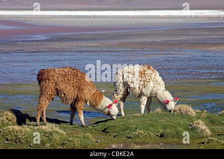 Two Llamas (Lama glama) with ear tassels on shoreline of salt lake Laguna Colorada on the Altiplano, Bolivia - Stock Photo