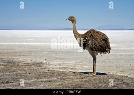 Lonely Greater Rhea / Nandu (Rhea americana) on the saltpan Isla de los Pescadores, Salar de Uyuni, Altiplano Bolivia - Stock Photo