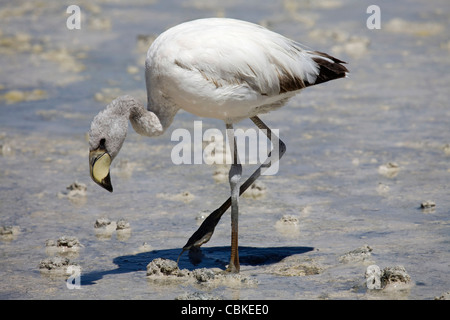 Juvenile James's Flamingo (Phoenicoparrus jamesi) foraging in shallow water at the salt lake Laguna Hedionda, Altiplano, - Stock Photo
