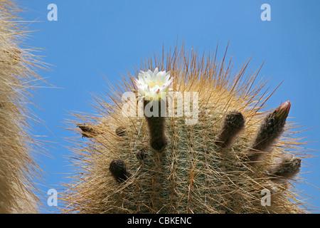 Cactus (Echinopsis atacamensis / Trichocereus pasacana) blooming on Isla de los Pescadores, Salar de Uyuni, Altiplano - Stock Photo