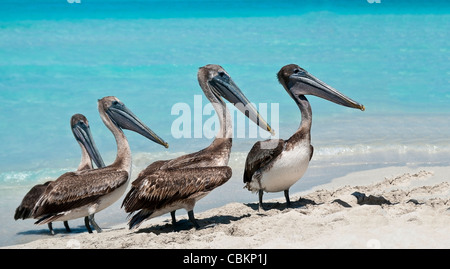 A quartet of pelicans lining up during rush hour on the beach. - Stock Photo