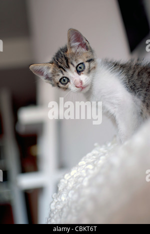 Few Weeks Old Kitten at Home - Stock Photo