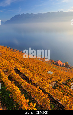 The Swiss vineyards of Lavaux, on the side of Lac Leman (Lake Geneva) in the autumn with mist on the lake