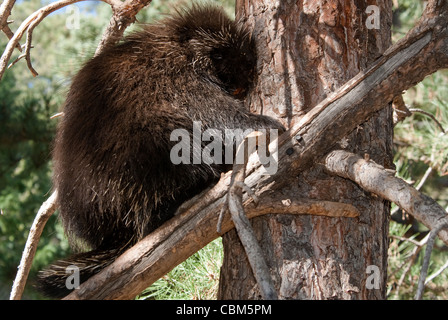 North American Porcupine Erethizon dorsatum Rio Grande County Colorado USA - Stock Photo