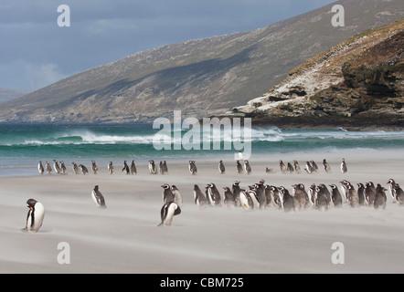 South Atlantic, Falkland Islands, Saunders Island. Magellanic penguins on sandy beach - Stock Photo