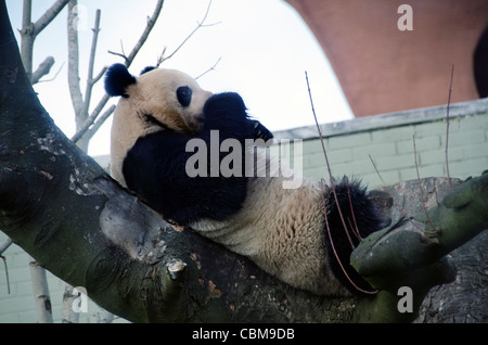 Male Giant Panda Bear Yang Guang in Edinburgh Zoo a week after his arrival from China on the 4th of December 2011 - Stock Photo