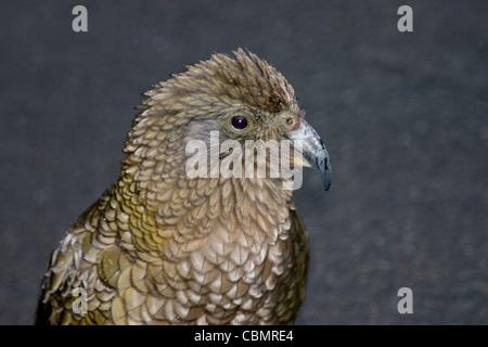 New Zealand kea mountain parrot closeup portrait - Stock Photo