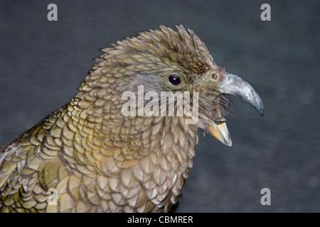 New Zealand kea mountain parrot closeup portrait with beak open - Stock Photo