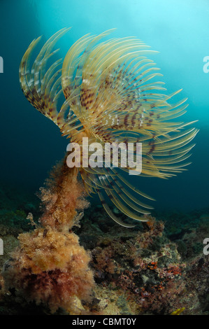Feather Duster Worm, Spirographis spallanzani, Piran, Adriatic Sea, Slovenia - Stock Photo