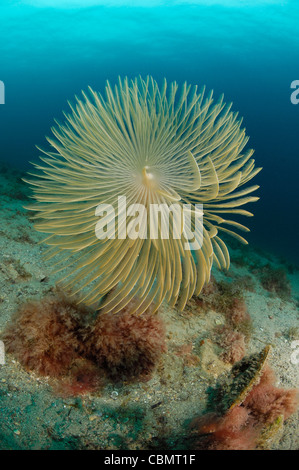 Feather Duster Worm, Spirographis spallanzani, Piran, Adriatic Sea, Slovenia - Stock Photo
