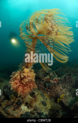 Feather Duster Worm and Scuba diver, Spirographis spallanzani, Piran, Adriatic Sea, Slovenia - Stock Photo