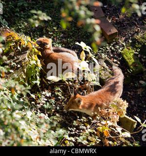 Red Foxes in Urban Garden - Stock Photo