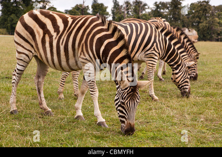 UK, England, Bedfordshire, Woburn Safari Park, Chapman's Zebra Equus quagga chapmani