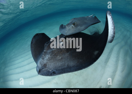 Southern Stingrays, Dasyatis americana, Sandbar, Grand Cayman, Cayman Islands - Stock Photo