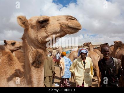 Livestock Market In Hargeisa Camel Trading Somaliland - Stock Photo