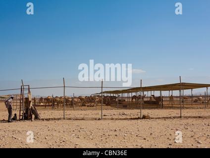Berbera Camel Farm Somaliland - Stock Photo