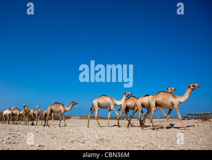 Berbera Camel Farm Walking Camels In Row Somaliland - Stock Photo