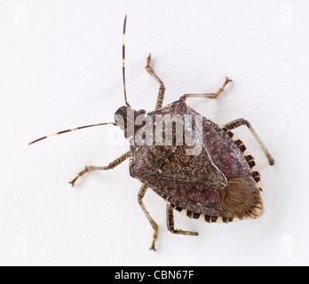 Brown Marmorated Stink Bug - Stock Photo