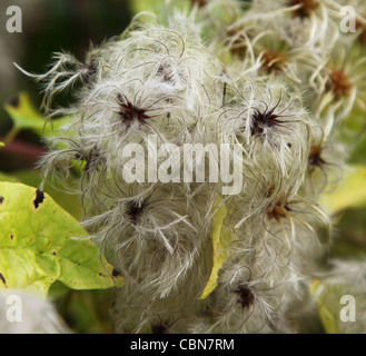 Wild Clematis vitalba, a climbing shrub also called Old man's beard and Traveler's Joy - Stock Photo