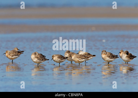 Red Knot (Calidris canutus) flock resting on beach, Wadden Sea, Germany - Stock Photo