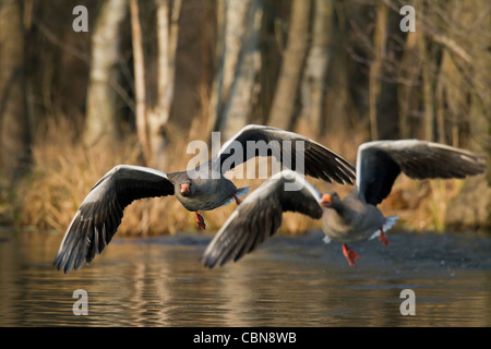Greylag goose / graylag goose (Anser anser) chasing competitor away from lake, Germany - Stock Photo